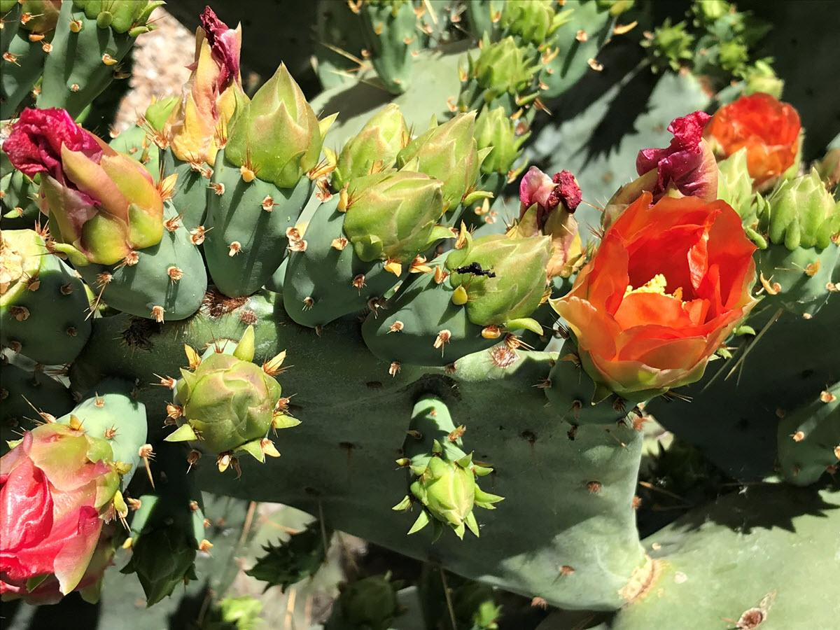 Prickly pear blossoms, Gilbert Riparian Preserve 2019. / Photo by Kristen LaRue-Sandler